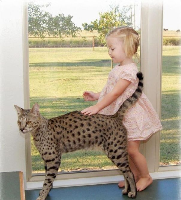 Gatti Leopardati