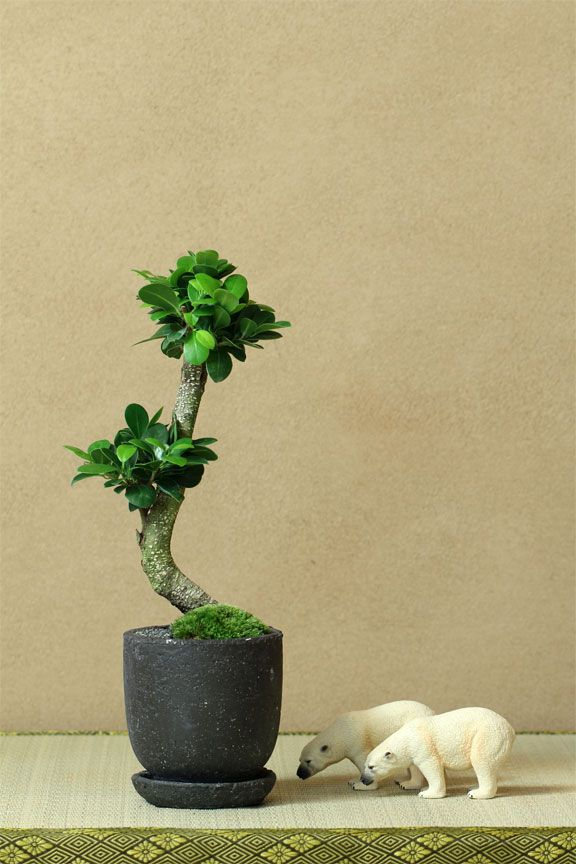 mini bonsai japan pinterest. Black Bedroom Furniture Sets. Home Design Ideas