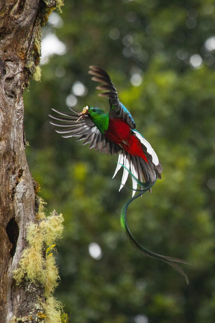 Resplendent QuetzalQuetzal In Flight