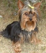 Potty training a yorkie poo puppy names