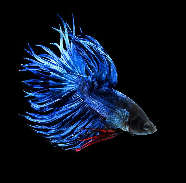 Blue Crown Tail Betta | Betta splendens | Pinterest