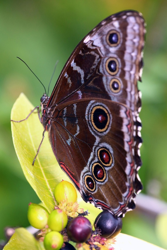 Owl butterfly - photo#26