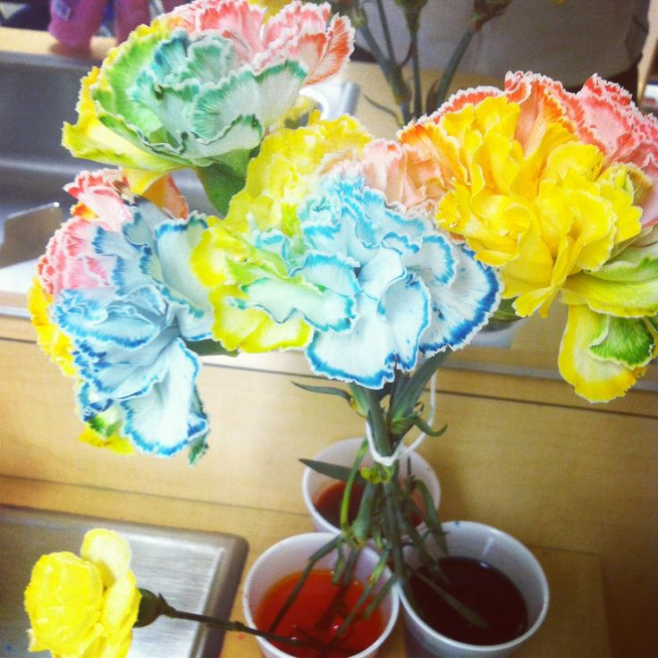Pin by diona paulus on science projects pinterest for How to dye flowers using food coloring