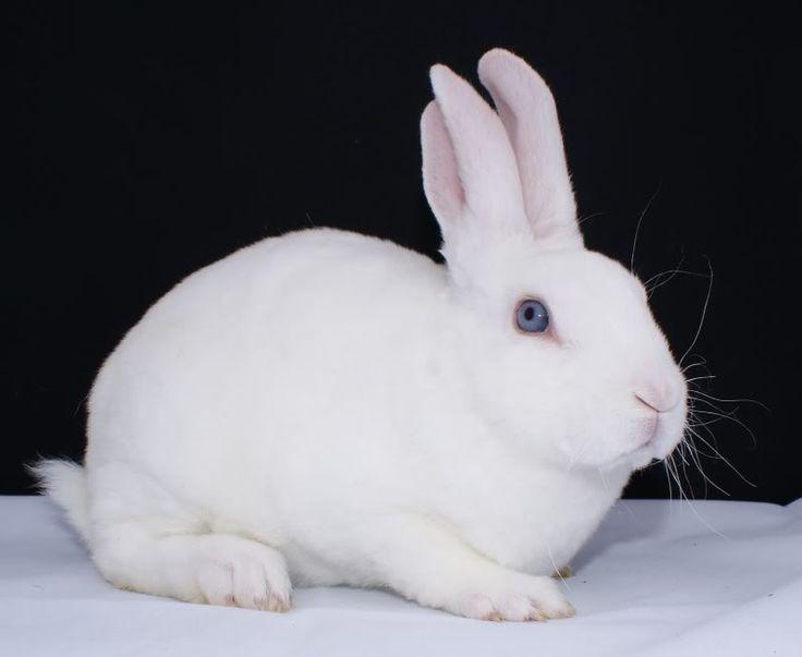 Blue eyed white | Mini Rex Rabbits | Pinterest