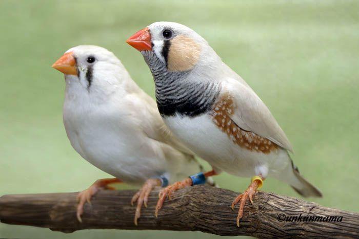 White finches male female