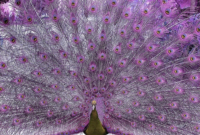 Are pink peacocks real - photo#15
