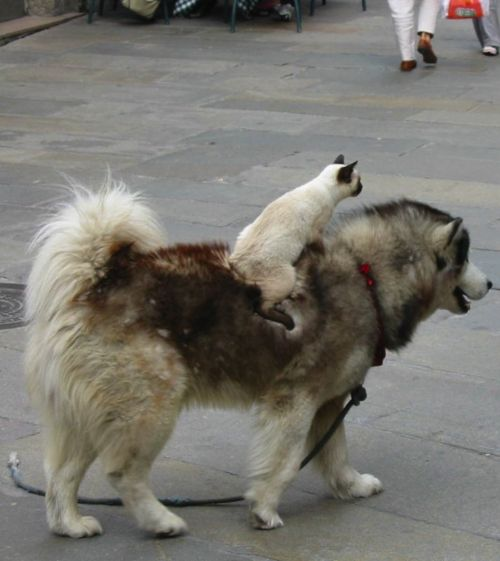 ride, ride kitty! ride my dog!