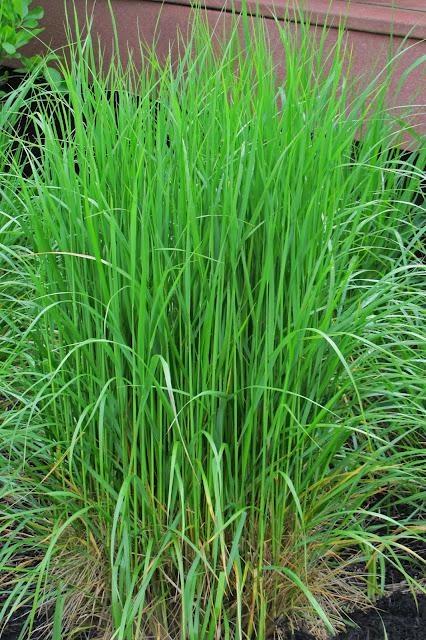 Here come the ornamental grasses for Ornamental sea grass