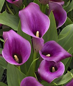 Purple Calla Lily- Regal