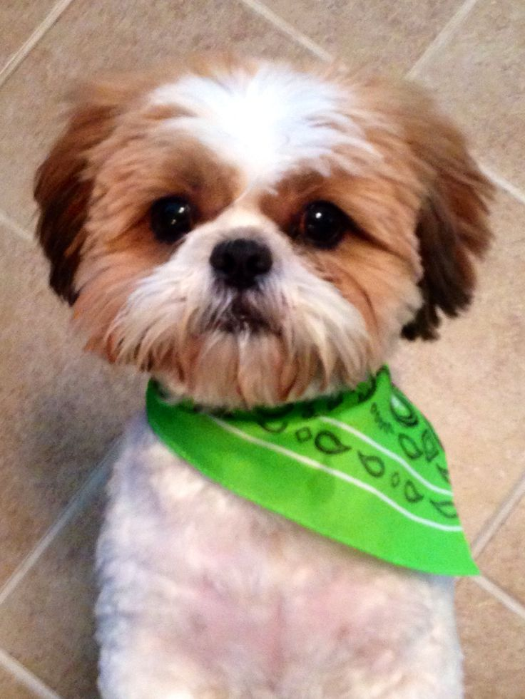 My Shih Tzu Baby With His Summer Cut Pictures And Quotes