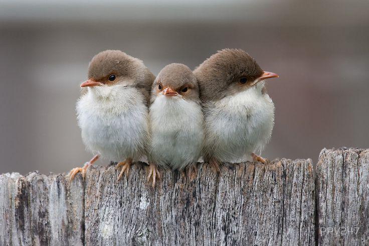 fairy wren chicks