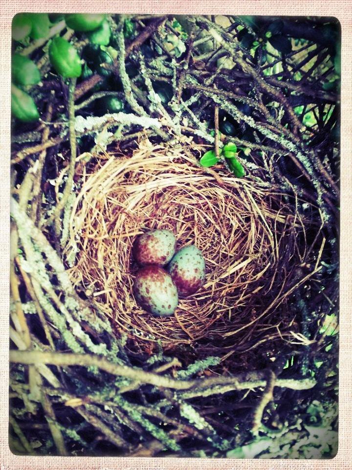 lovely bird nest with eggs