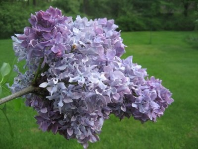 double french lilacs.