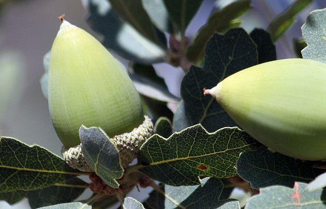 blue oak acornsBlue Oak Acorn