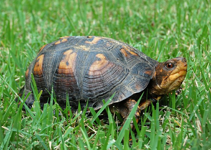 of Water Turtles Types of Turtles and Tortoises - How to Take Care ...