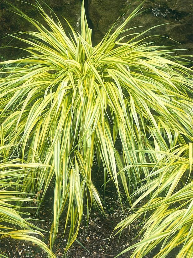 How to landscape with ornamental grasses for Best ornamental grasses for landscaping