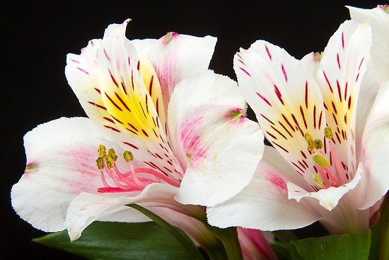 Peruvian Lilies | Jimmy Dear | Pinterest