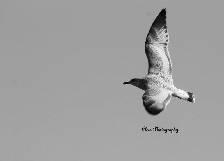 Female seagull - photo#11