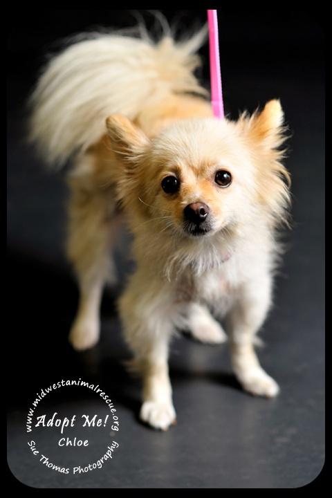 Pomeranian Rescue and Adoption Near You  Adopt A Pet