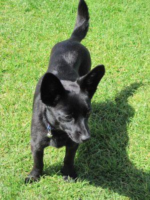 ... dog photo | Dog profile for Valentina, a female Schipperke/Chihuahua