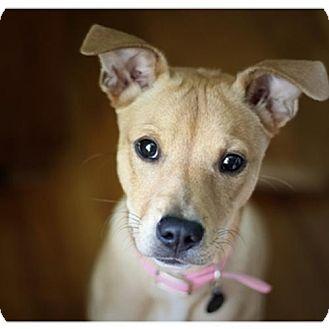 ... :: Photo 1: Richmond - St. Louis, MO - American Pit Bull TerrierMix