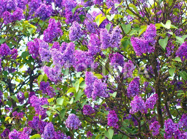 Purple Lilac tree | Yard Art | Pinterest