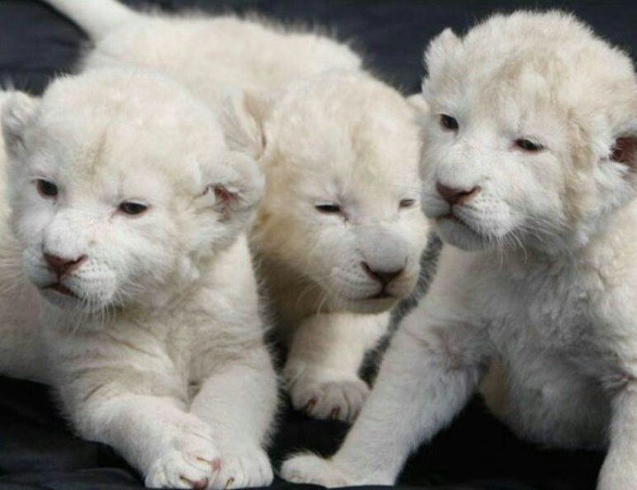 cute baby white lions - photo #8