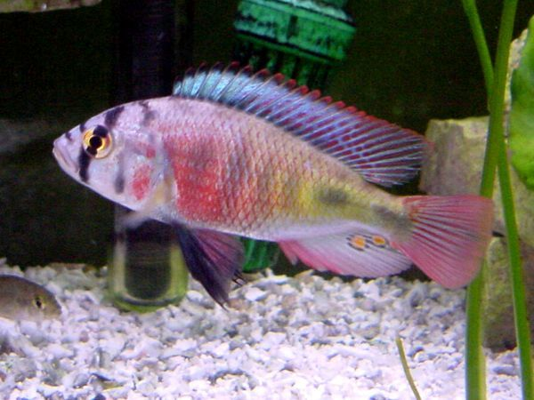 African rift lake cichlids fish pinterest for African cichlid fish