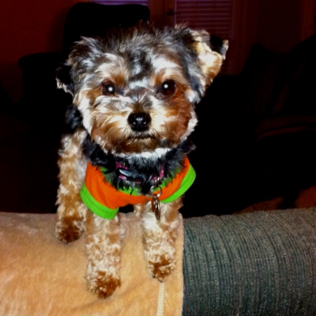 Yorkie Poo Puppies For Sale In Paducah Ky | Dog Breeds Picture