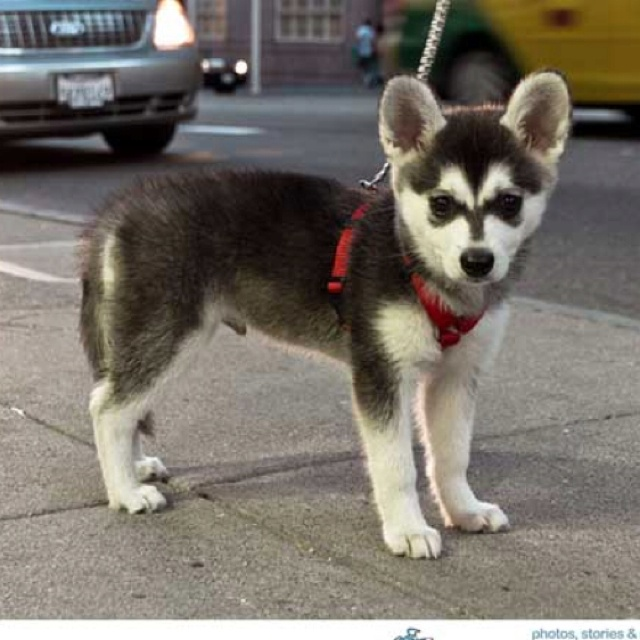 Full Grown Miniature Husky Dog Breeds Picture