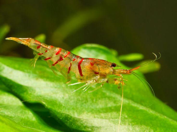 Tiger shrimp Donovan Oceanic Pinterest