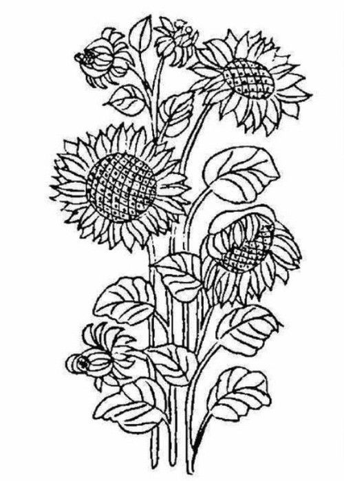 sunflower coloring page printables pinterest