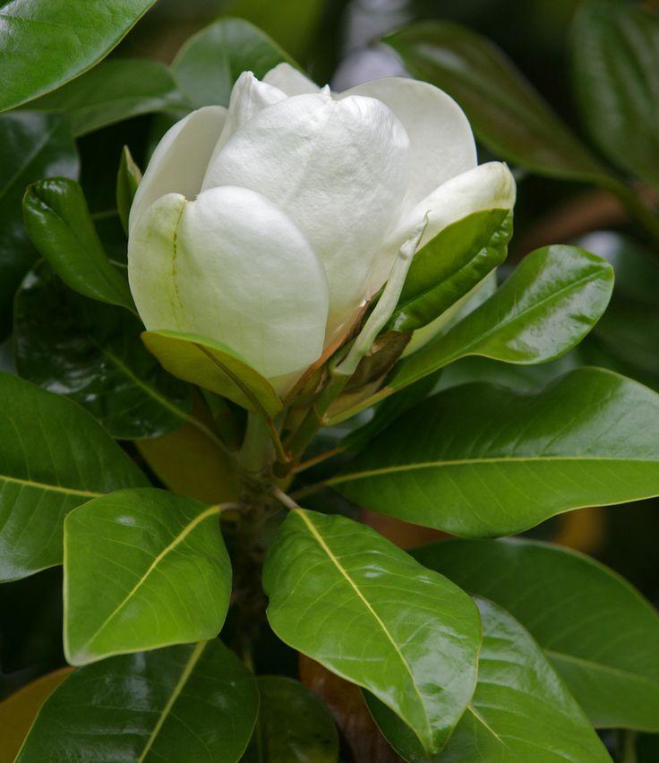 Magnolia grandiflora white pinterest - Magnolia grandiflora ...