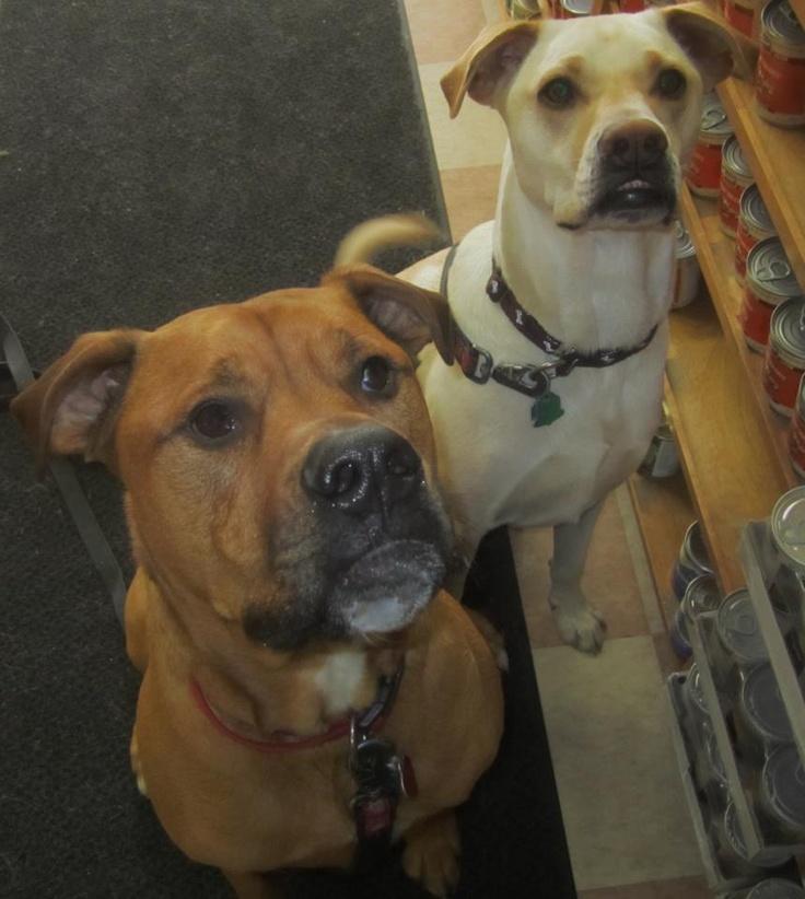 Brown American Bulldog Lab Mix My rocco...american