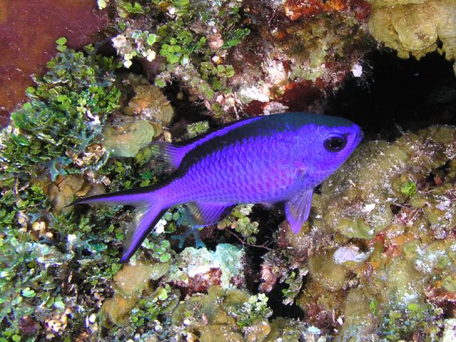 Blue chromis Dream Fish Pinterest