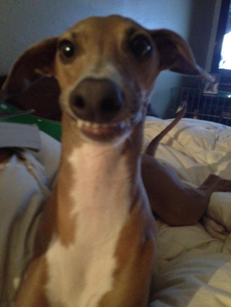 italian greyhound smiling -#main