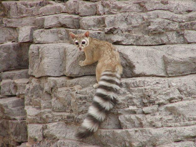 Arizona State Ring Tailed Cat