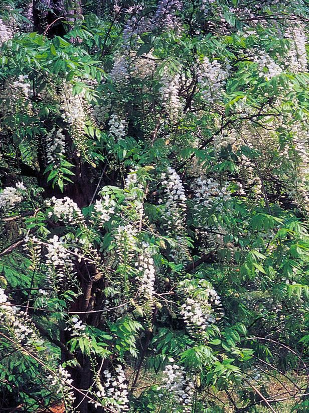 Types of fragrant climbing plants - Climbing plants that produce fragrant flowers ...