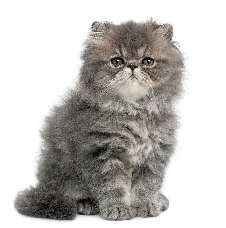 ✮ Persian Kitten