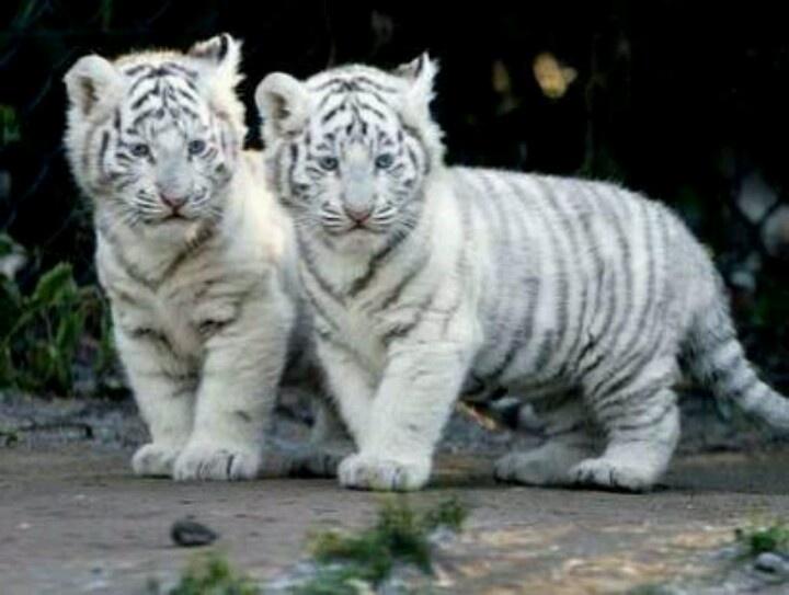 Albino tiger cubs   An...