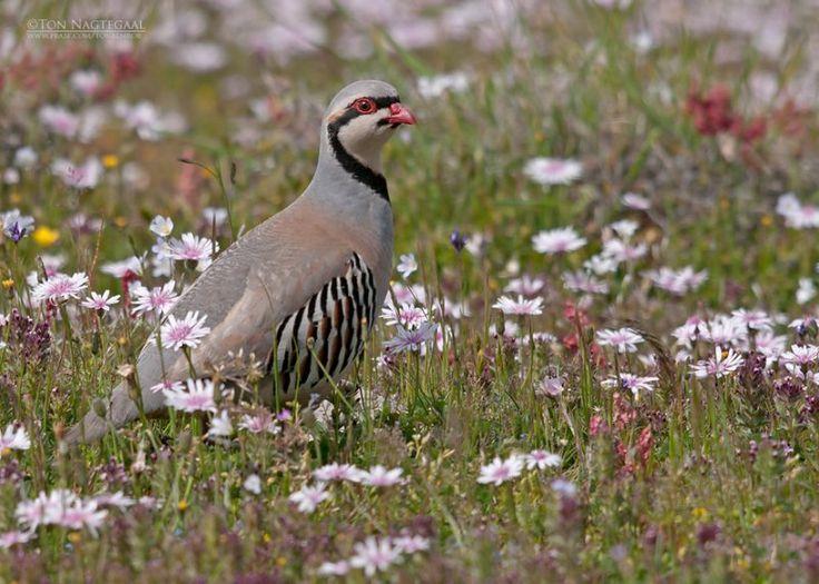Upland Game Bird  Chukar  Hunter2  Pinterest