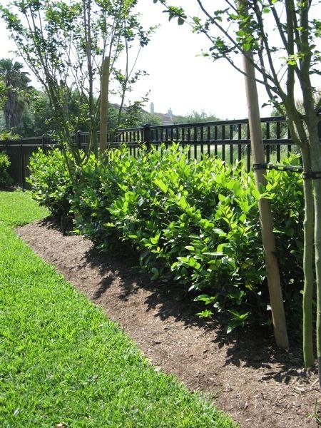 Wax leaf privet hedge bing images for Wax landscape
