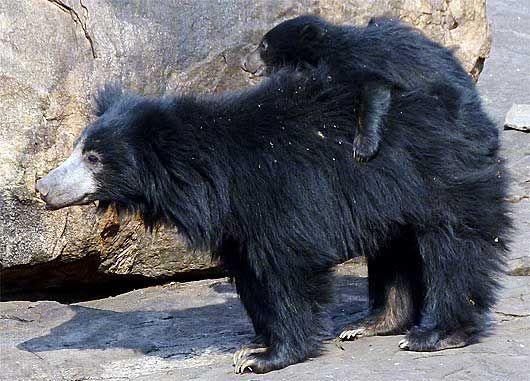 amazing animals sloth bear
