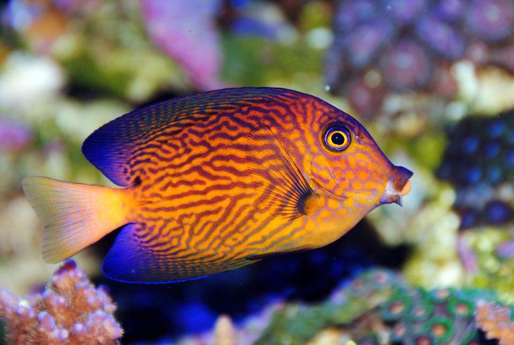 Chevron tang saltwater creatures pinterest for Rare aquarium fish
