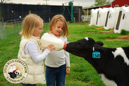 Little girls and calves – the perfect combination of cute and awww!