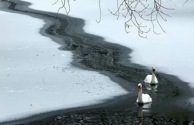 Beautiful swans | Winter and snow scenes | Pinterest