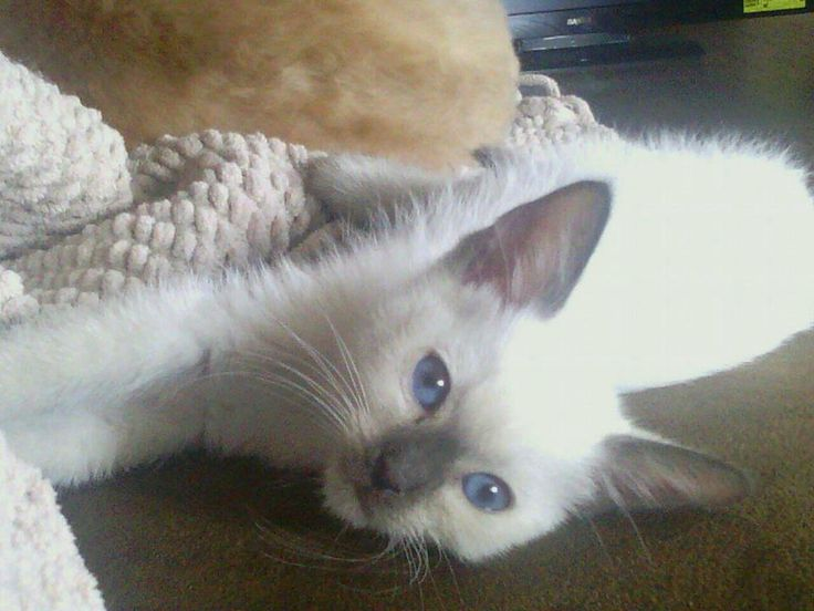 cats.Lilac point,Seal tabby silver Siamese,Seal point, Flame point ...