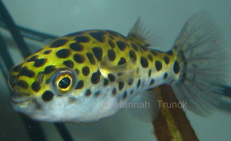 ... Little Puff, he follows me around the room. Green Spotted Puffer Fish