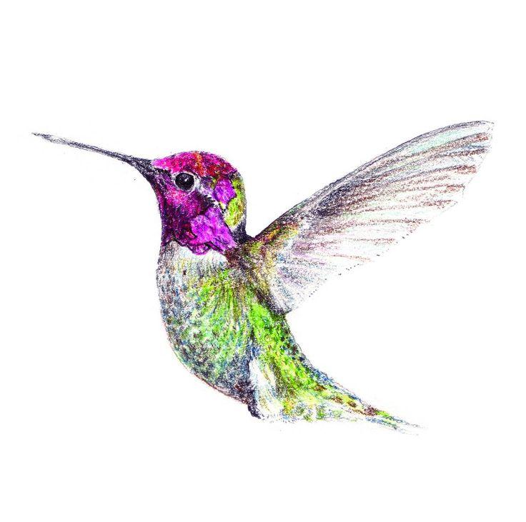 Hummingbird drawing colour