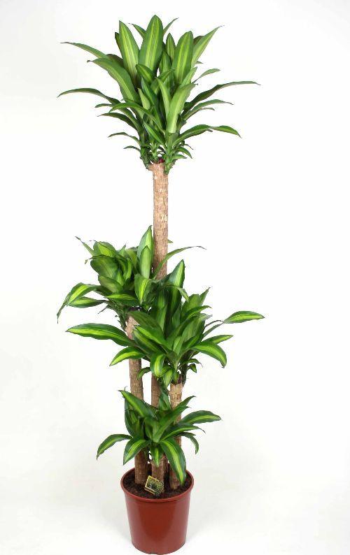 dracaena massangeana hardy jungleland house plants